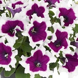 petunia-picotee-purple-105cm-kruka-1