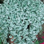 silvernjurvinda-silverfalls-105cm-kruka-1