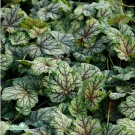 alunrot-green-spice-12cm-kruka-1