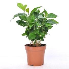 arabisk-kaffeplanta-12cm-kruka-1
