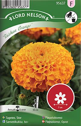 tagetes-stor--taishan-orange-1