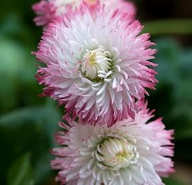 tusenskna-habanera-rose-1