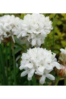 bredbladig-trift-ballerina-white-9cm-kruka-1