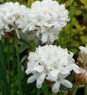 bredbladig-trift-ballerina-white-1