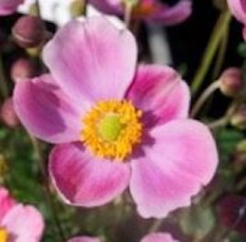 sidenanemon-pink-cloud-105cm-kruka-1