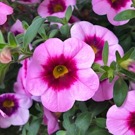 minipetunia-aloha-kona-tiki-soft-pink-3-plant-1