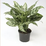 silverkalla-aglaonema-maria-12cm-kruka-1