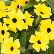 svartga-suneyes-yellow-dark-eye-105cm-kruka-1