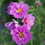 rosenskra-fizzy-pink-dark-center-2