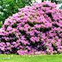 rhododendron-catawbiense-grandiflorum-225cm-5