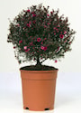 rosenmyrten-dubbel-19cm-kruka-3