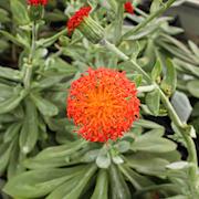 senecio-orange-flame-12cm-kruka-1