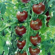 krsbrstomat-sunchocola-105cm-kruka-1
