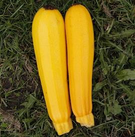 375-squash-gul-yellowfine-f1-1