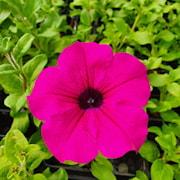 petunia-surfinia-shihi-purple---3-plantor-1