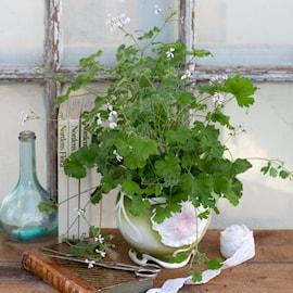 doftpelargon-marias-blomma-gk-samlarpelargon-1