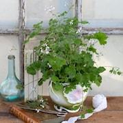 doftpelargon-marias-blomma-gk-1