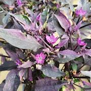 prydnadspeppar-purple-flash-12cm-kruka-1