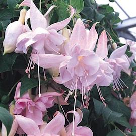 fuchsia-hng-hollys-beauty-105cm-kruka-1