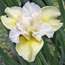 iris-yellowtail-1st-barrotad-1