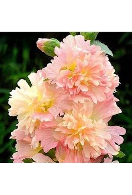stockros-spring-celebrities-apricot-9cm-kruka-1