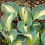 hosta-dream-queen-1st-barrotad-2