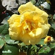kltterros-goldstern-20cm-kruka-1