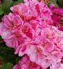 zonalpelargon-pink-batik-3st-sticklingar-2