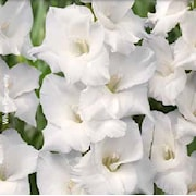 gladiolus---vit-10st-1