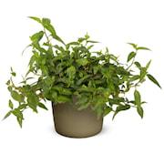 korianderpilrt-vietnamese-coriander-105cm-kru-1