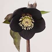 orientalisk-julros-naomi-13cm-kruka-1