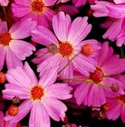 flickga-pink-lady-105cm-kruka-1