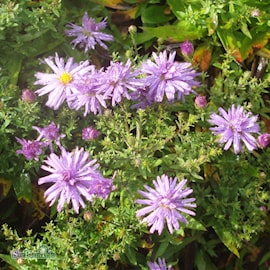 aster-lady-in-blue-3st-barrotad-1