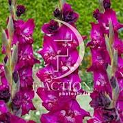 gladiolus-frozzie-7st-1
