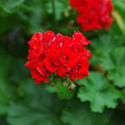 rosenknoppspelargon-rosebud-3st-sticklingar-1