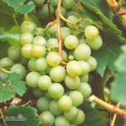 vindruva-sukribe-15-2l-co-1
