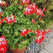 zonalpelargon-special-summertwist-red-white-3-1