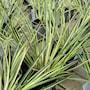 grskalmus-variegatus-12cm-kruka-4
