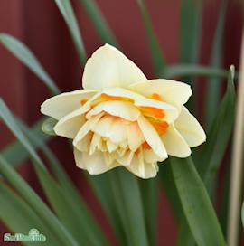 stjrnnarciss-manly-5st-1