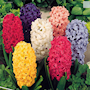 hyacint-storpack-blandad-1