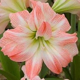 amaryllis-giant-amadeus-1st-1