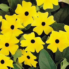 svartga-suneyes-lemon-star-12cm-kruka-1
