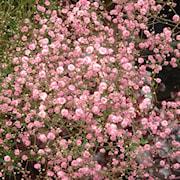 brudslja-rosa-1st-1