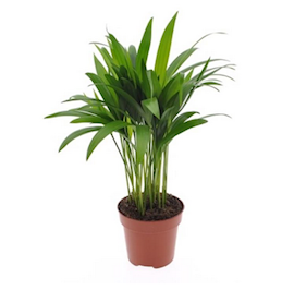 guldpalm-dypsis-12cm-kruka-1