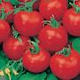 tomat-shirley-f1-8