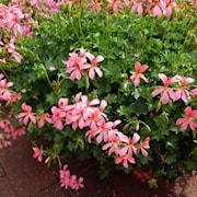 hngpelargon-mini-balcon-pink-105cm-kruka-1