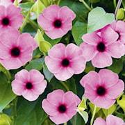svartga-sunny-susy-rose-sensation---3-plantor-1
