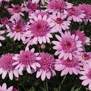 margerit-madeira-crested-pink-105cm-kruka-1