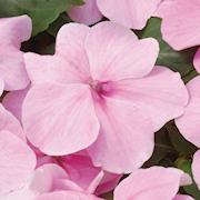 flitiga-lisa-dezire-pink-9cm-kruka-1