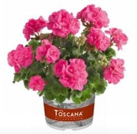 zonalpelargon-trend-hot-pink-hanna-12cm-kruka-1